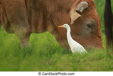 Cattle Egret - A Cattle Egret - Ardea ibis - standing next ...