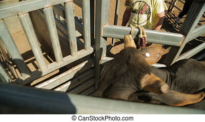 A cattle in a narrow cage - A hand held high angle shot of a...