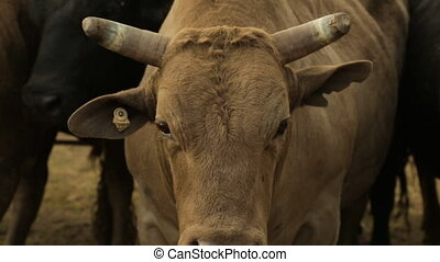 A hand held close up shot of a cattle's head with its big eyes staring into the camera and its ears and horns protruding