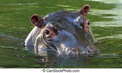 a Cautious Hippopotamus Dives in a Pond on a Sunny Day in...