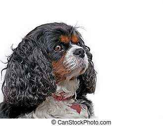 A Cavalier King Charles dog on a white background