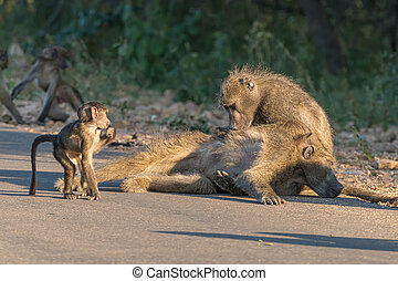 A chacma baboon grooming another baboon