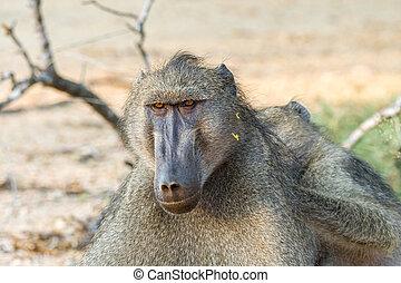 Chacma baboon, Papio ursinus, being groomed