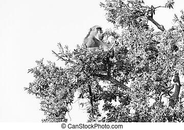 Chacma baboon, Papio ursinus, sitting in a tree. Monochrome
