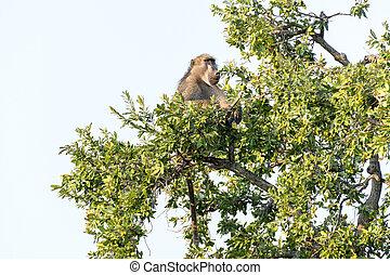 Chacma baboon, Papio ursinus, sitting in a tree
