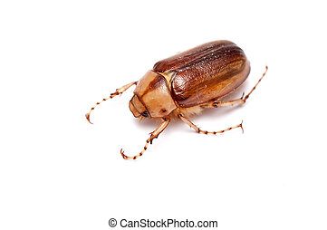a chafer - a single chafer over a white background