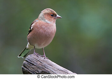 Chaffinch - A Chaffinch on a branch