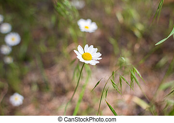 chamomile growing in green grass