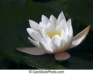 A charming white water-lily with drops of water on flower-leaves is gleaming in the sunshine.