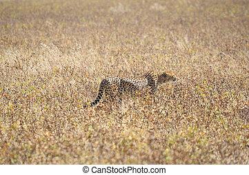 A Cheetah in the Etosha National Park 2