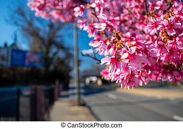 A Cherry Blossom Tree Branch on a Suburban Street