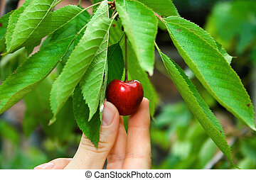A cherry on the tree