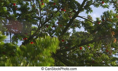A cherry tree under a sunny day - A steady shot of a cherry...