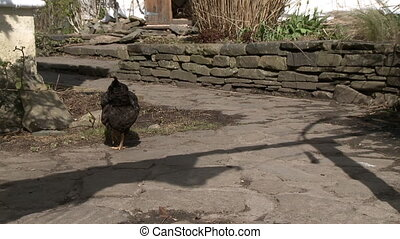 A chicken pecking the ground near a stone wall - A single...