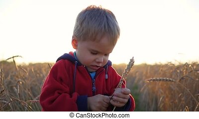 A child stands in a field of wheat. The boy is holding a ear of wheat