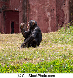A chimpanzee sits in the meadow