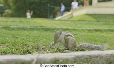 A chipmunk finding and eating on green grass in the park.