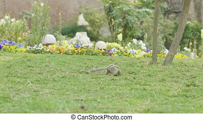 A chipmunk finding and eating on green grass in the park. -...