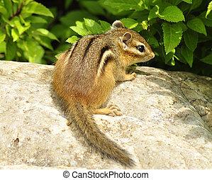 chipmunk  - a  chipmunk on a stone