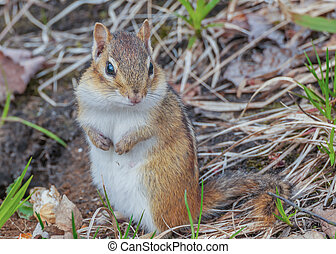 Chipmunk - A Chipmunk perched on the ground.