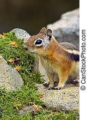 chipmunk - a chipmunk sitting on a rock