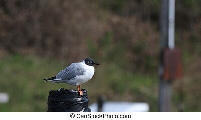 Chroicocephalus philadelphia, Bonaparte's Gull relaxing - A...