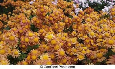 A Chrysanthemum flower background