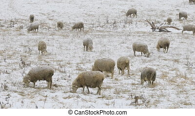 Cinemagraph, Looped, Flock of sheep feeding in field in snow...