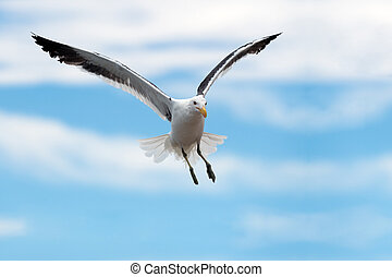 A close up action photograph of a seagull in flight