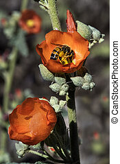 Globe Mallow - A close-up image of the wildflower Globe ...
