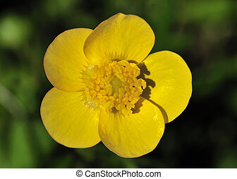 Common Buttercup (Ranunculus acris) - A close-up macro shot ...