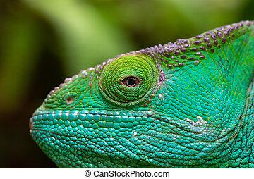 Close-up, macro shot of a green chameleon