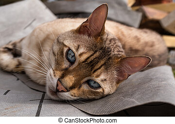 A close up of a bengal cat lying on the ground looking at the camera with beautiful eyes