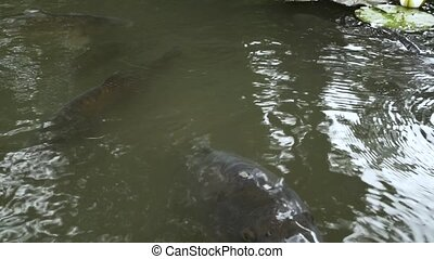 A close-up of a carp in a pond asks for food by opening its mouth wide. Slow motion.