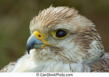 A close-up of a falcon