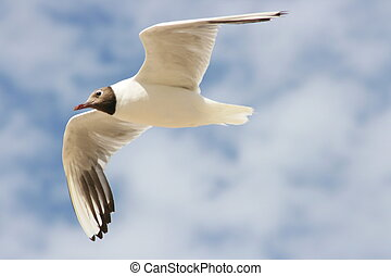 A Close-up of a flying black-headed gull
