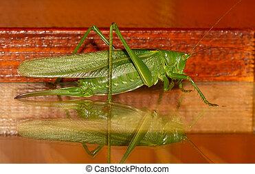 A close-up of a grasshopper