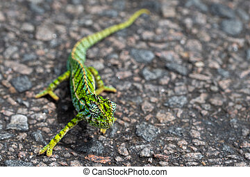 Close up of a green chameleon on the street