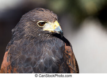 Harris Hawk - A close-up of a Harris Hawk.