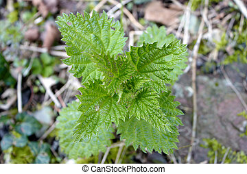 A  close up of a nettle