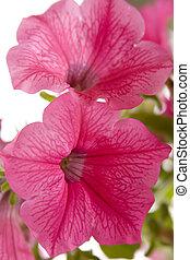 A close up of a Petunia flower.