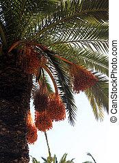 A close up of a phoenix dactylifera palm tree