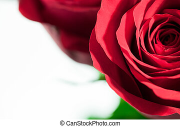 A close up of a red rose on a white background.