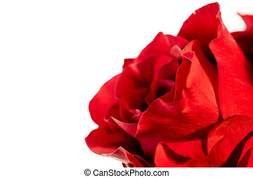A close up of a single red rose on a white background.