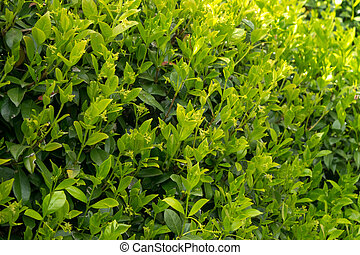 A close-up of a thriving Trachelospermum jasminoides plant during its growing season