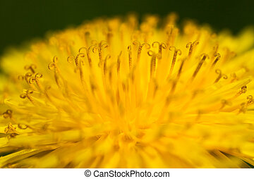 A close-up of a yellow dandelion