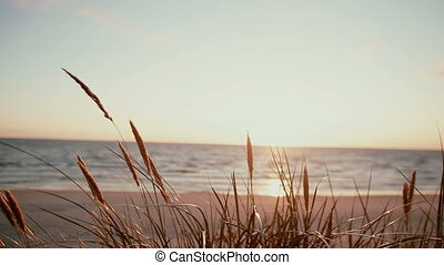 A close-up of dry grass spica that are swaying in the wind at the beach on a beautiful pastel evening at sea