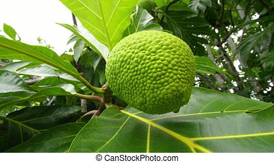 A close up of jackfruit on branch