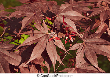 A Close up of Japanese palmate maple with its distinctive red leaves during the spring season.