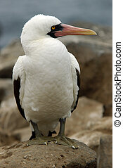 Masked Booby - A close-up of Masked Booby bird on Galapagos...
